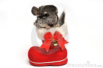 Small chinchilla in red Santa Claus boot