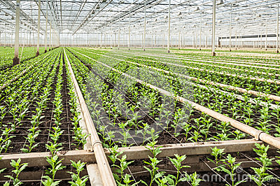 Small Chrysanthemum cuttings in a modern plant nursery
