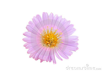 Small chrysanthemum flowers