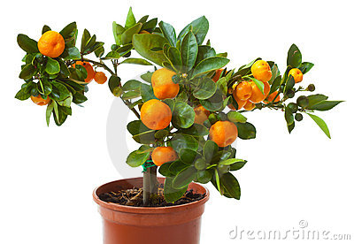 Small citrus tree in the pot
