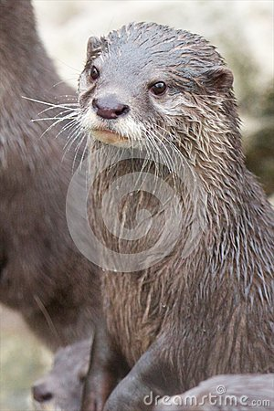 Small-clawed Otter vertical
