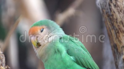 Small parrot in the national park. Small colored parrot in the national park stock video footage