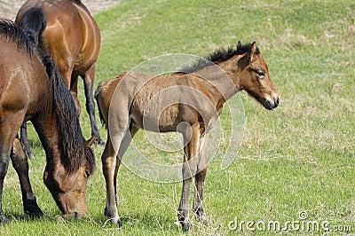 Small colt