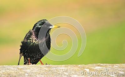 Small Common Starling bird
