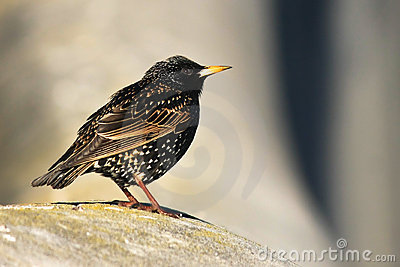 Small Common Starling bird