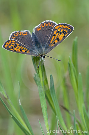 Free Small Copper Butterfly Royalty Free Stock Photo - 14325385