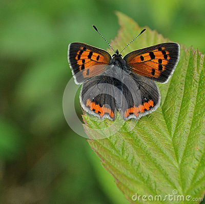 Free Small Copper Butterfly On Green Leaf Stock Image - 36289201