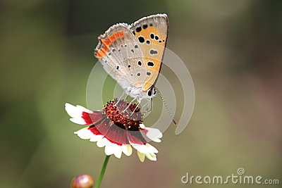 Small Copper on a calliopsis