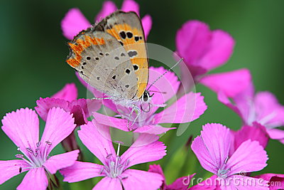 Small Copper on dianthus
