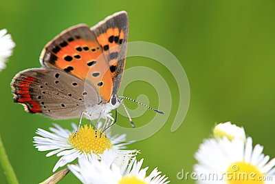 Small Copper on a white flower