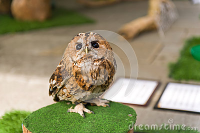 Small curious owl