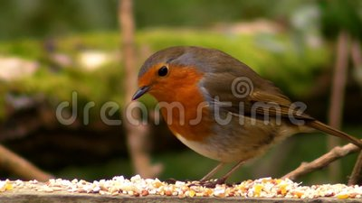 Small cute tiny orange bird parrot sitting on green tree branch eating seed observe wild nature in amazing close up view. Small cute tiny orange bird parrot stock footage