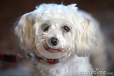 Small, cute, white dog looks into the camera