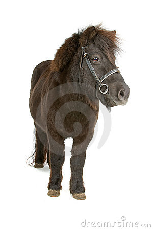 Small dark brown pony