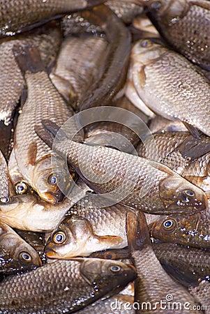 Small dead fish