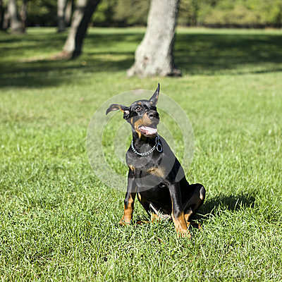 Small Doberman