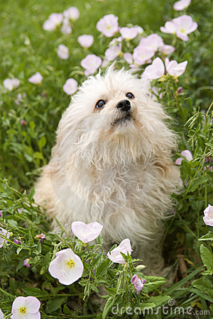 Small dog in flower field.