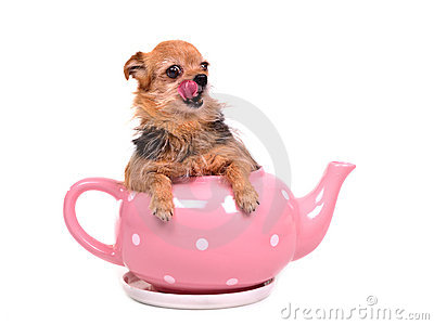 Small dog inside the tea pot, licking its nose