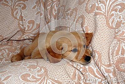 Small dog lying on sofa