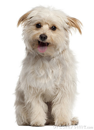 Small dog sitting and panting in front of white
