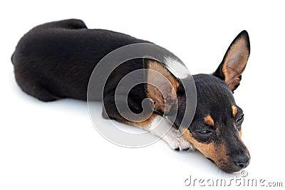 Small dog sleepy