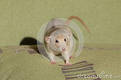 Small domestic rat