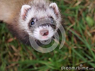 Small ferret