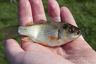 Small fish in man s hand