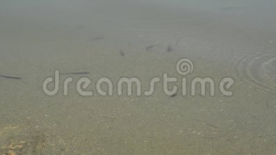 Small fish in a pond in the morning light stock footage