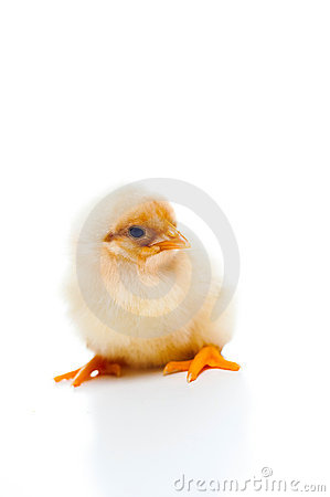 Small and fluffy newborn chick, isolated on white