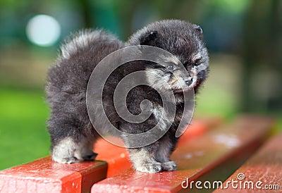 Small fluffy Pomeranian puppy