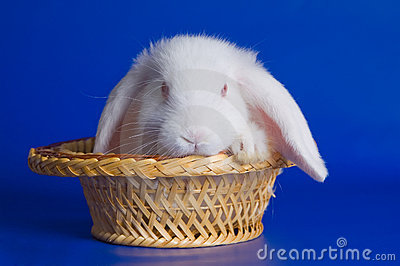 Small fluffy rabbit