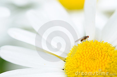 Small fly on a daisy blossom
