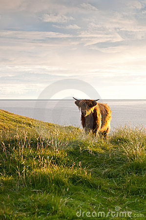 Small galloway cattle
