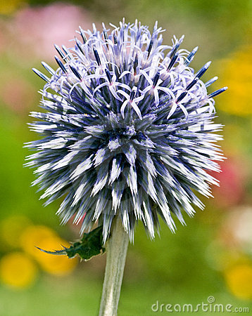 Free Small Globe Thistle Royalty Free Stock Images - 7054249