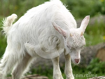Small goat cub eating grass