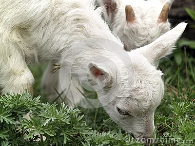 Small goat cubs eating grass