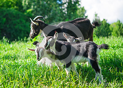 Small goat grazing
