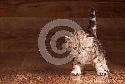 Small golden british kitten