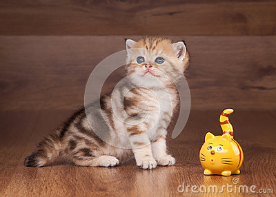 Small golden british kitten