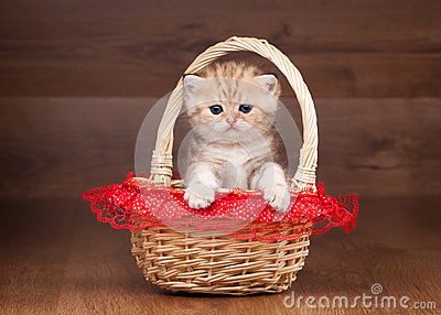 Small golden british kitten in basket