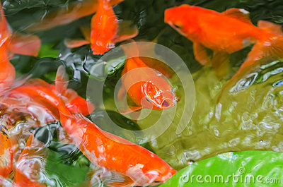 Small Goldfish In A Pond