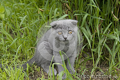 Small gray cat