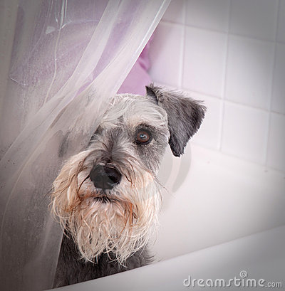 Small gray dog in bath tub