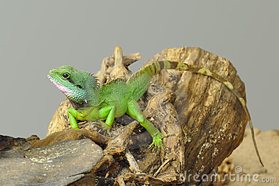 Small green lizard on log