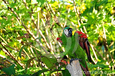 Small Green Macaw