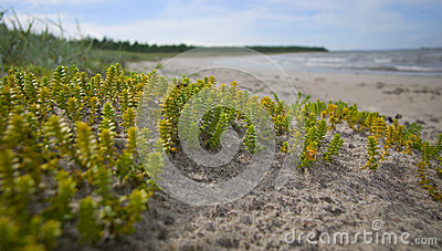 Small green plants on the beach.GN