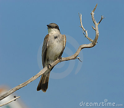 Small Grey Bird on the Branch