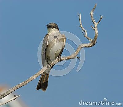 Small Grey Bird on the Branch