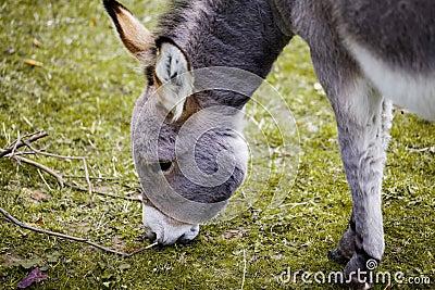 Small grey Donkey